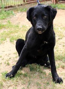 Siedzący czarny pies