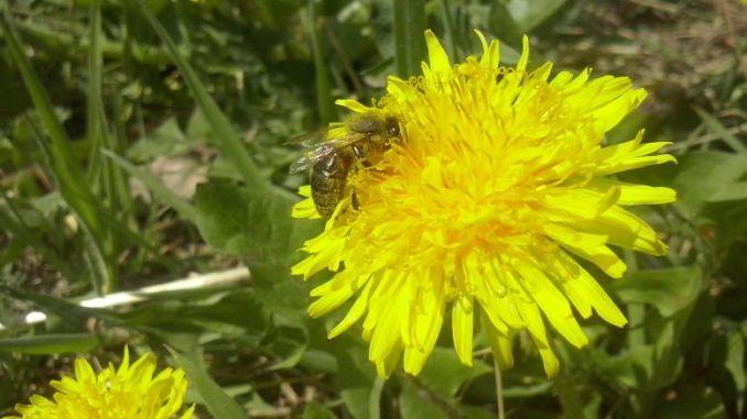 Pszczoła zbiera nektar z żółtego mniszka