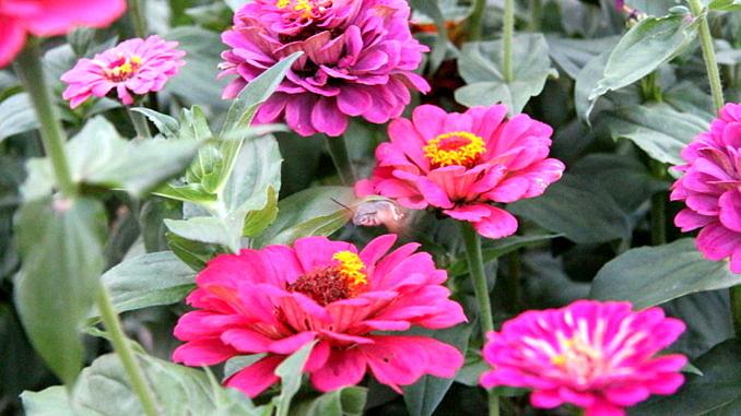 Kwiaty - cynie w kolorze fuksji