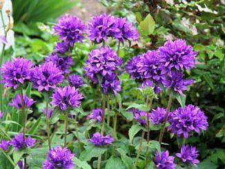 Fioletowe kwiaty rosnące w naturalnym środowisku