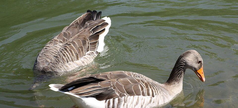 Dzikie kaczki na tafli wody; jedna z głową pod wodą