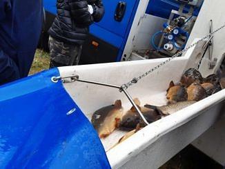 Ryby rurą trafiają do stawu