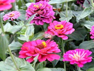 Kwiaty ogrodowe - różowe cynie i krążąca nad nimi ćma podobna do kolibra