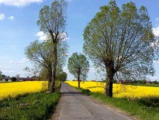 Droga otoczona drzewami wśród pól z kwitnącym na żółto rzepakiem