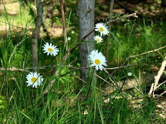 Białe rumianki na tle leśnego poszycia
