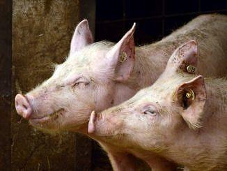 Dwie świnie z kolczykami w uszach