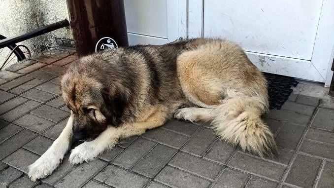 wielki stary pies leży na betonowych schodach