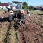 Ciągnik wykopuje, a ludzie zbierają ziemniaki na polu