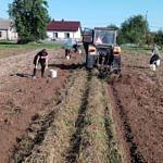 Ludzie zbierają ziemniaki na polu